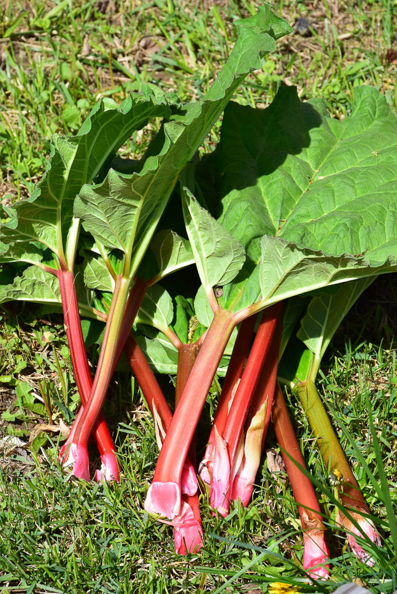 Strawberry Rhubarb Custard Galette
