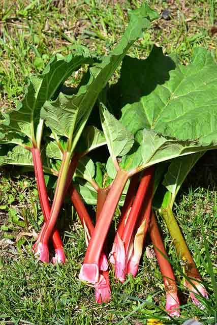 Fresh picked rhubarb