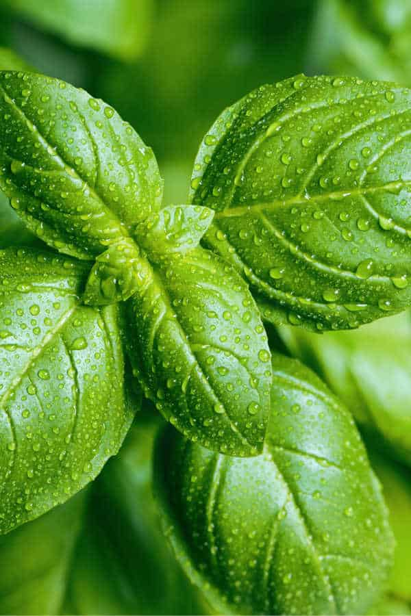 Upclose image of Fresh basil leaves with water droplets on the leaves.
